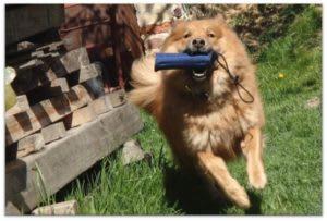 hund apportiert gefundenen futterbeutel