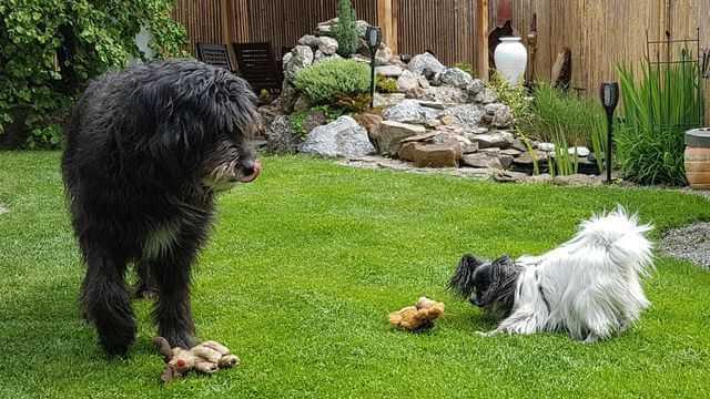 hunde spiele: zwei hunde beim apportieren
