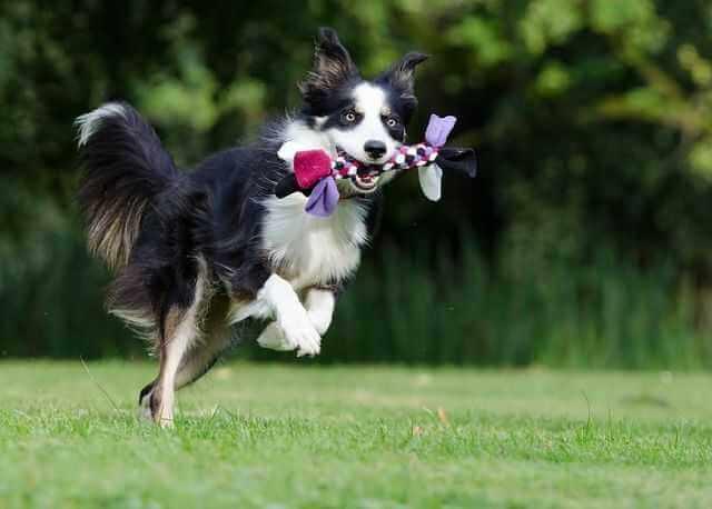 hunde spiele: hund trägt selbstgemachtes zerrspielzeug